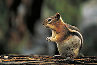 Golden-mantled squirrel. Colorado USA Rocky Mountain National Park.