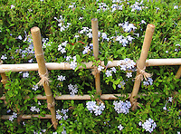 Wooden-fence surrounded with tiny blue Plumbago flowers stock image.