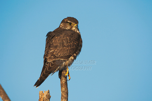 Merlin (Falco columbarius), adult on post, Sinton, Corpus Christi, Coastal Bend, Texas, USA