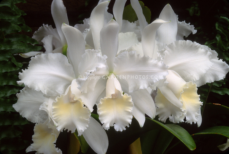 Cattleya Carla Avila, hybrid of Luxury x Louise Georgiana, white corsage prom orchid