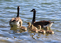 Canada geese with their goslings enjoy the sunshine on the lake at Priory Park, Bedford UK. May 20th 2020  <br /> <br /> Photo by Keith Mayhew