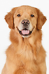 20140924 Goldens, Labs and Border Collie