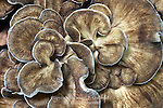 Hen of the Woods, Grifola frondosa