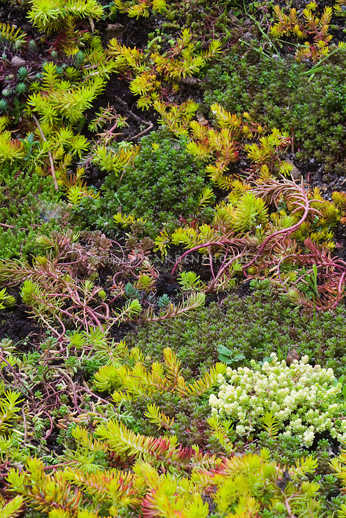 Mixture of sedum varieties in a tapestry groundcover carpet, different types of succulent fleshy perennial sedums growing together