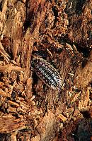 A Pill Bug.