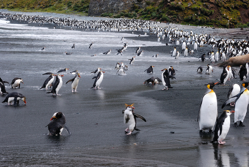 Tourist at the Beach - Royal and King penguins on the beach at Sandy Bay,Macqarie Island