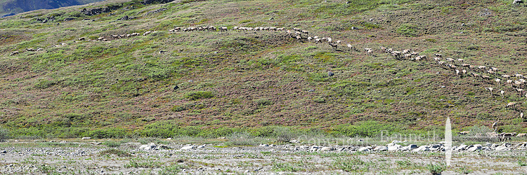 A herd of caribou heads up the bank from a gravel bar in the Hulahula River Canyon on a summer day in Alaska's Arctic National Wildlife Refuge. STITCHED PANORAMA 1OF 3