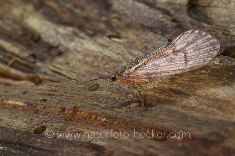 Köcherfliege, Halesus spec., caddis fly, caddisfly, caddy, sedge-fly, rail-fly, caddisflies, sedge-flies, rail-flies, Limnephilidae