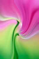 Close-up of underside of tulip flower, Kuekenhof Gardens, Lisse, Netherlands, Holland