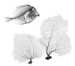 X-ray image of fish and sea fans (black on white) by Jim Wehtje, specialist in x-ray art and design images.