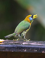 Female red-headed barbet