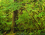 Olympic National Park, WA: Sunlight illuminatin vine maple trunks (Acer circinatum) draped in moss with spring green foliage on the Hall of Mosses trail