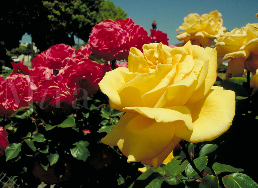 portrait of bright yellow and dark pink roses in garden with blue sky background. bloom, petals, rose bush, rose, spring, season, seasonal,  plants, gardening. garden.