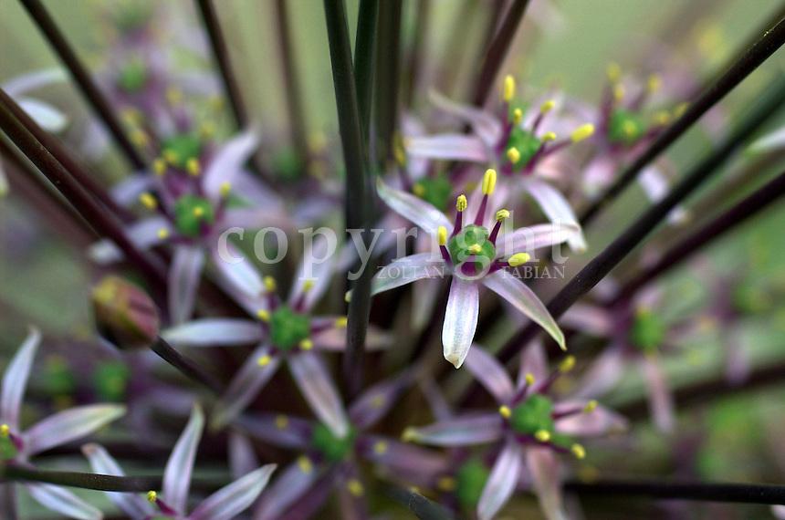 Close up of a Schubert Onion (Allium schubertii)