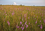 Nachusa Grasslands Natural Area, Illinois: Tallgrass prairie with native grasses and blazing star (Liatris sp)