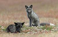 San Juan Island Foxes 2018