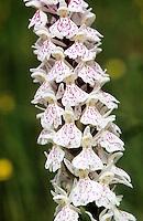 Wohlriechende Händelwurz, Duft-Händelwurz, Gymnadenia odoratissima, Short-Spurred Fragrant Orchid, Gymnadénie odorante