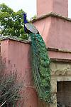 Peacock in Arcadia