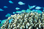 Moorea, French Polynesia; Blue-green Chromis (Chromis viridis), form large schools above coral thickets, found in coastal reefs and lagoons in 2-20 meters, in Indo-Pacific Ocean region, Red Sea and E. Africa to Marquesas and Society Islands in French Polynesia. S.W. Japan to Australia, to 8 cm , Copyright © Matthew Meier, matthewmeierphoto.com All Rights Reserved