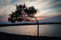 The unofficially named 'Wind Blown Tree' at sunset along the rocky shoreline at the San Leandro Marina Park.
