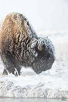 Bull Bison (Bison bison) feeding along the edge of a stream. A geyser in the background is throwing off steam that creates the blanket of frost on this Bison.