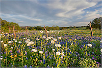 Along an old fence line in San Saba County, bluebonnets and white poppies enjoy a calm spring evening.