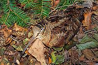Waldschnepfe, Wald-Schnepfe, Scolopax rusticola, Eurasian woodcock, La Bécasse des bois