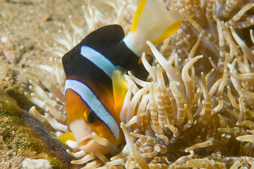 Anilao, Philippines; an adult Clark's Anemonefish (Amphiprion clarkii) tending to it's bed of eggs at the base of it's banded Leathery Sea Anemone (Heteractis crispa)