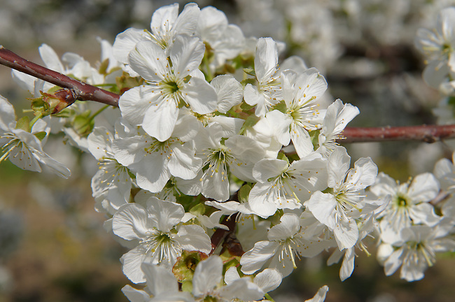 Stock Photos of close up of white cherry blossom on a cherry tree. Funky stock photos library