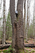 Bucket stuck in tree at what is believed to be the Hartley's Camp in the Oliverian Brook valley of Albany, New Hampshire USA. This was a logging camp of the Swift River Railroad (1906-1916). This bucket is considered to be an artifact, and the removal of historic artifacts from federal lands without a permit is a violation of federal law.