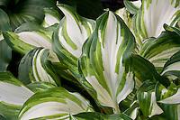 Hosta 'Fortunei Aureomarginata', Hosta leaf foliage, shade garden perennial plant