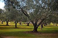 MAR 2013, Puglia, Salento, uliveto.MAR 2013, Apulia, Salento, olive grove