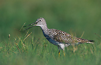 Greater Yellowlegs, Tringa melanoleuca, adult calling, Willacy County, Rio Grande Valley, Texas, USA, May 2004