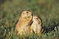Black-tailed Prairie Dogs .greeting one another.  Montana, USA.  June..Cynomys ludovicianus