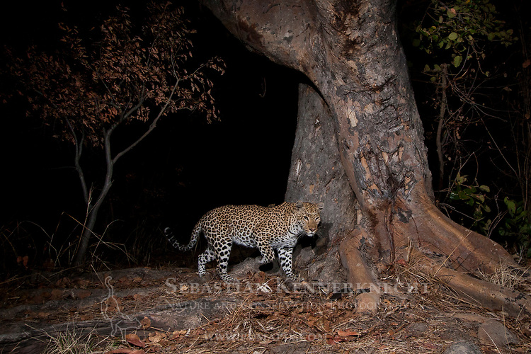 African Leopard (Panthera pardus) female at night, Kafue National Park, Zambia