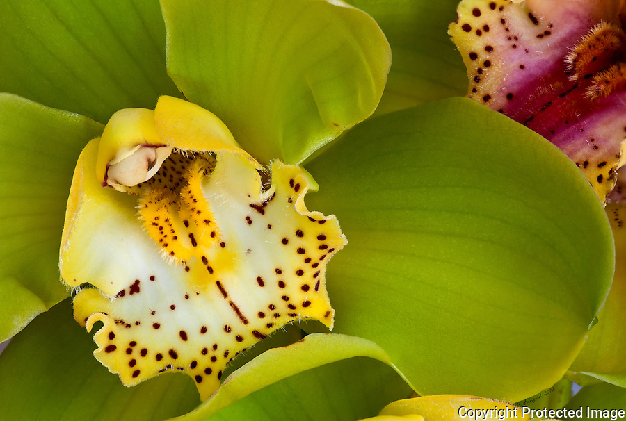 Yellow Orchid, Unique Orchids, Wild Orchids, Macro Photography, Stacked Photography, Miami nature, Tropical Flowers,<br />