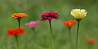 Multi-colored zinnias, country 'line-dance' style. :)
