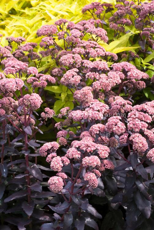 purple foliage plants stock images  images  plant  flower stock, Natural flower