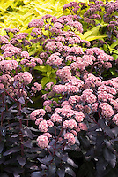 Sedum Purple Emperor in flower with dark purple foliage leaves aka Hylotelephium Purple Emperor