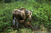 Moose (Alces alces) Nursing Newborn Calf.  Denali National Park, Alaska.
