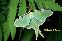 LE10-057x  Luna Moth male just emerged from cocoon, Actias luna