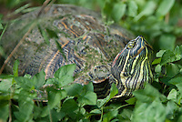 477950025 a wild red-eared slider trachemys scripta elegans sits in low bush plant leaves at hornsby bend travis county texas