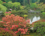 Seattle, WA:  An orange flowering deciduous azalea accentuates the view of the lake in spring from the upper hillside of the Japanese Garden in Washington Park Arboretum