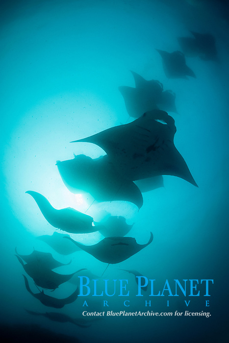 reef manta rays, Manta alfredi, chain-feeding on plankton, Hanifaru Bay, Hanifaru Lagoon, Baa Atoll, Maldives, Indian Ocean