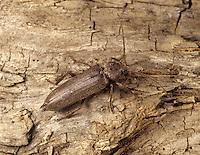 Longhorn Beetle - Criocephalus polonicus