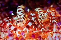 coleman shrimp, Periclimenes colemani, pair, Anilao, Batangas, Philippines, Pacific Ocean