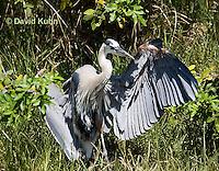 0829-0909  Great Blue Heron, Promoting Temperature Regulation with Wings, Ardea herodias © David Kuhn/Dwight Kuhn Photography