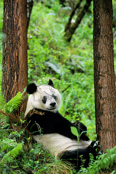 Giant Panda (Ailuropoda melanoleuca) resting against evergreen tree in bamboo forest of central China.