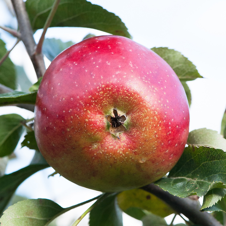 Apple 'Tyler's Kernel', late September. An English culinary apple bred by Mr Tyler of Hereford in about 1883.