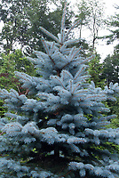 Blue spruce evergreen tree Picea pungens